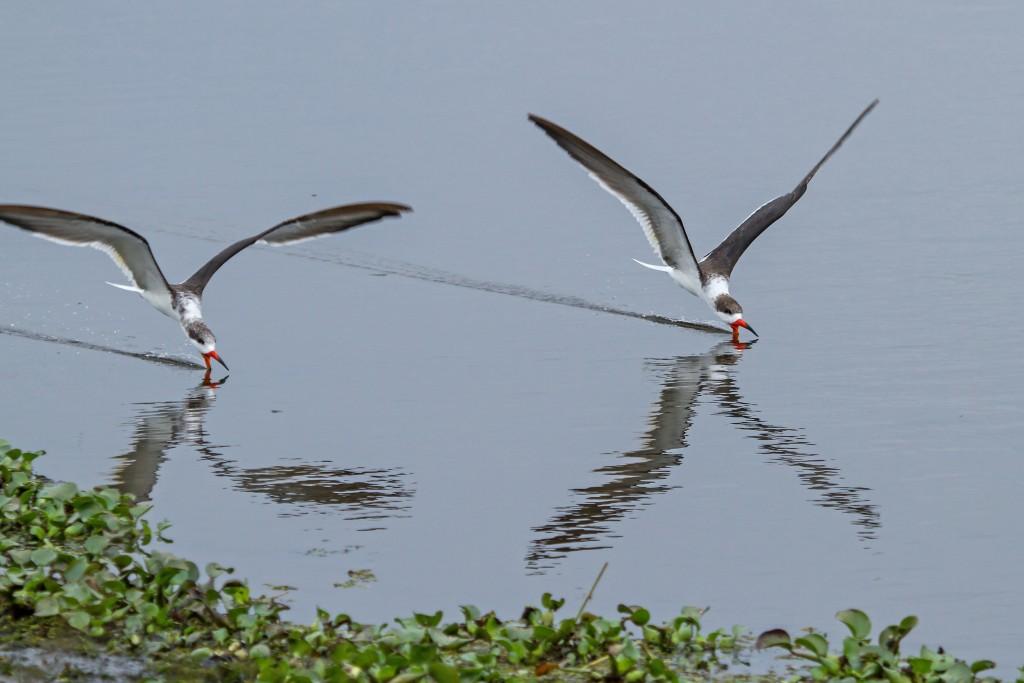 bec-en-ciseaux-stick-marsh-floride